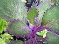 G aurantiaca new growth close.JPG