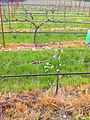 Gamay noir vines in Oregon.jpg