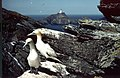 Gannets on Clingra Stack - geograph.org.uk - 547837.jpg