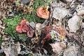Ganoderma lucidum 73156212.jpg
