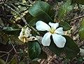 Gardenia gummifera 03.JPG