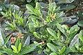 Gardenia vietnamensis 10zz.jpg