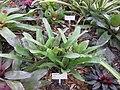 Gardenology.org-IMG 2222 rbgs11jan.jpg