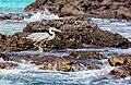Garza azulada (Ardea herodias), Las Bachas, isla Santa Cruz, islas Galápagos, Ecuador, 2015-07-23, DD 11.jpg