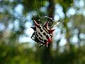 Gasteracantha cancriformis (Fern forest).jpg