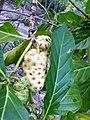 Gentianales - Morinda yucatanensis - 3.jpg