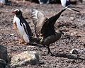 Gentoo Penguin rescues its Chick from a Brown Skua (5751780532).jpg