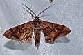 Geometrid Moth (Hypochrosis binexata) (8093755276).jpg