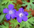 Geranium himalayense 04.jpg
