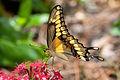Giant Swallowtail on Pentas 30.jpg