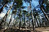 Giant White Pine Grove.jpg
