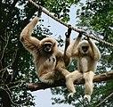 Gibbon Amiens 26873.jpg