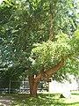 Ginkgo Baum Harbke.jpg