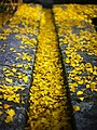 Ginkgo biloba leaves in the autumn at Santiago de Compostela.jpg