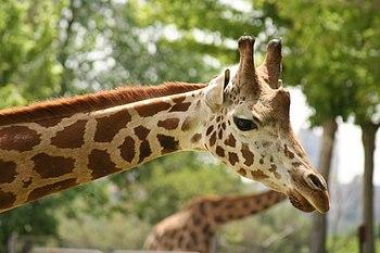 Jirafa en el zoo de Madrid