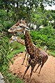 Giraffe eating leaf in dusit zoo.jpg