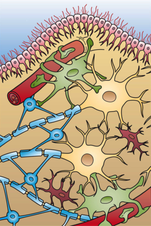 Lesional demyelinations of the central nervous system - Illustration of the four different types of glial cells found in the central nervous system: ependymal cells, astrocytes, microglial cells, and oligodendrocytes