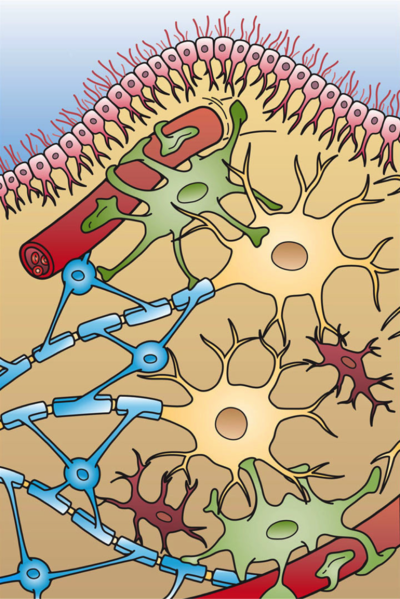 File:Glial Cell Types.png