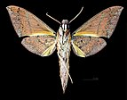 Gnathothlibus heliodes MHNT CUT 2010 0 64 Gavaina New Guinea male ventral.jpg