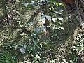 Gnetum edule-1-ponmudi-kerala-India.jpg