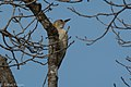 Golden-fronted Woodpecker (female) South Llano River State Park Llano TX 2018-02-24 13-34-01 (38772850990).jpg