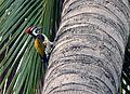 GoldenBackedWoodpecker2.jpg