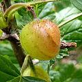Gooseberry (7338222982).jpg