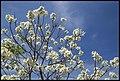 Grafton White Jacaranda-07 (22102124324).jpg