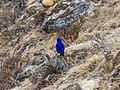 Grandala bird near Dzongla.jpg