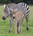 Grant's Zebra and foal.JPG