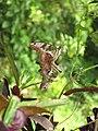 Graphium agamemnon - Tailed Jay mating at Ernakulam (3).jpg