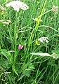Grass Vetchling - geograph.org.uk - 829336.jpg
