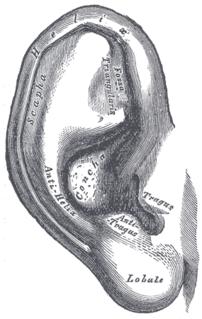 Earlobe Part of the ear