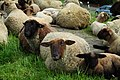 Grazing sheep on levee in Grünendeich, 6.jpg