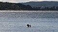 Great Cormorants (Phalacrocorax carbo) - Oslo, Norway 2020-09-16.jpg