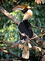 Great Hornbill Buceros bicornis (Linnaeus, 1758) (16353178501).jpg