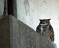 Great Horned Owl @ Evans Creek (284228464).jpg