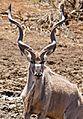 Greater Kudu (Tragelaphus strepsiceros) male (32270955123).jpg