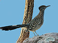 Greater Roadrunner RWD.jpg