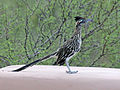 Greater Roadrunner RWD2.jpg