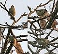 Greenish Warbler (Phylloscopus trochiloides) at Narendrapur W.jpg