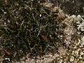 Grimmia pulvinata 126289089.jpg