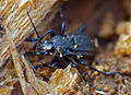 Ground Beetle (Carabus granulatus) hibernating in dead wood (13537357954).jpg