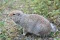 Ground Squirrel (8feaea27-3651-49d9-8f51-c8f1c0e3d213).jpg