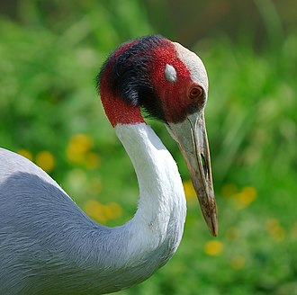 Sarus crane - South Asian subspecies  Antigone antigone antigone
