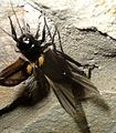 Gryllus bimaculatus - Flickr - gailhampshire.jpg