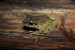 Guenther's Forest Frog (Platymantis guentheri)4.jpg