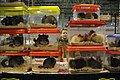 Guinea pigs (35539438850).jpg