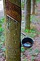 Gum Tree - Harvest of Raw-Lates - panoramio.jpg