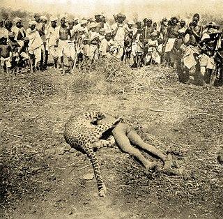 Leopard attack Leopard Hunting Prey